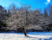 winter apple tree