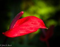 Anthurium Blossom