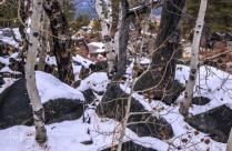 Aspen in Sierra Snow