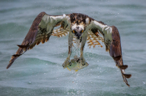 Osprey 19