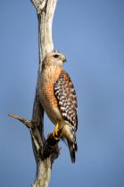 Red Shoulder Hawk 1