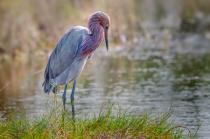 Redish Egret 1