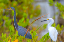 Tri-colored Heron and Egret