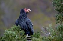 California Condor along the Big Sur Coast