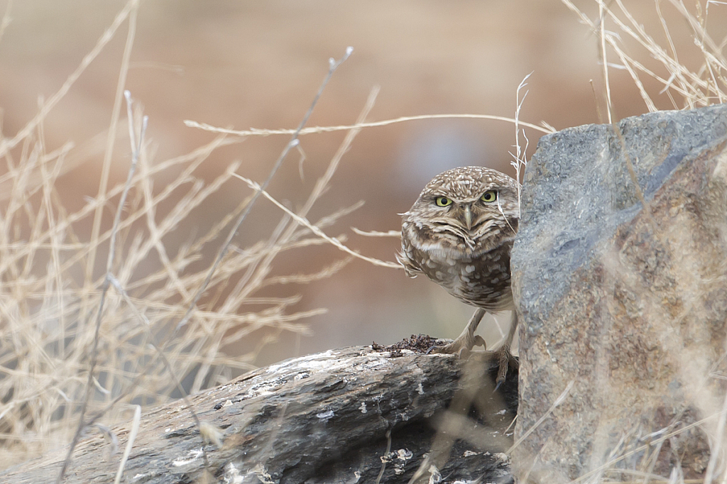 Burrowing Owl at New Melones  - ID: 15784216 © Peggy J. Sells