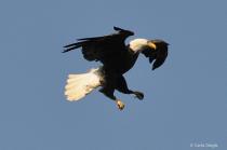 Eagle Landing--Feeding the Babies