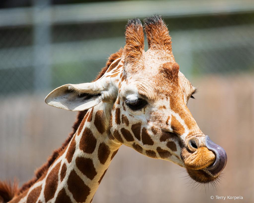 Reticulated Giraffe - ID: 15784341 © Terry Korpela