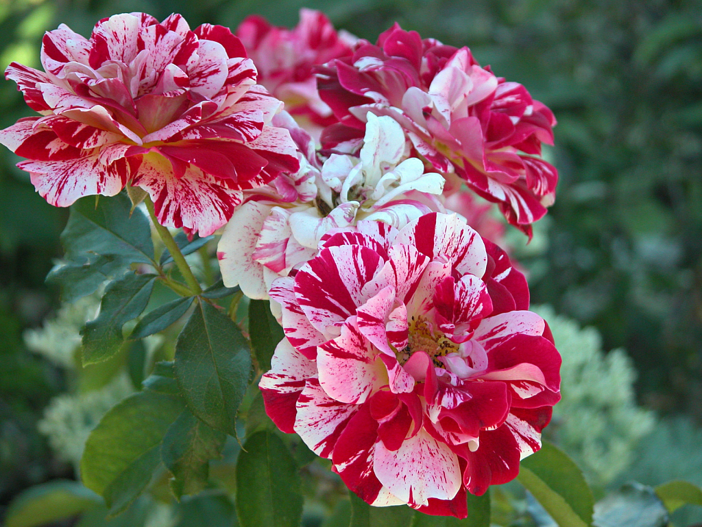 George Burns Floribunda Roses - ID: 15784359 © Kathleen McCauley