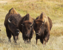 Powerful American bison