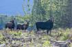 Female Moose and ...