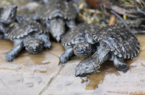 Snapping Turtle Hatchlings heading to water