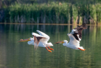 Pelicans about to land