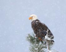 Eagle 0030