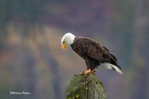 Eagle 0380