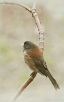Painted Junco
