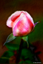 Artistic Rose Bud-Pale Pink 10-12-19 372