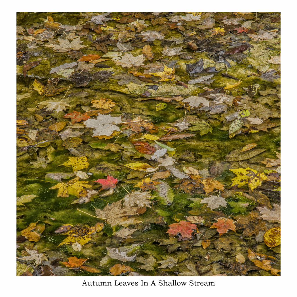 Autumn Leaves In Shallow Stream - ID: 15786199 © Philip B. Ludwig