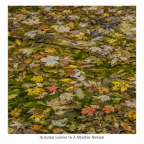 Autumn Leaves In Shallow Stream