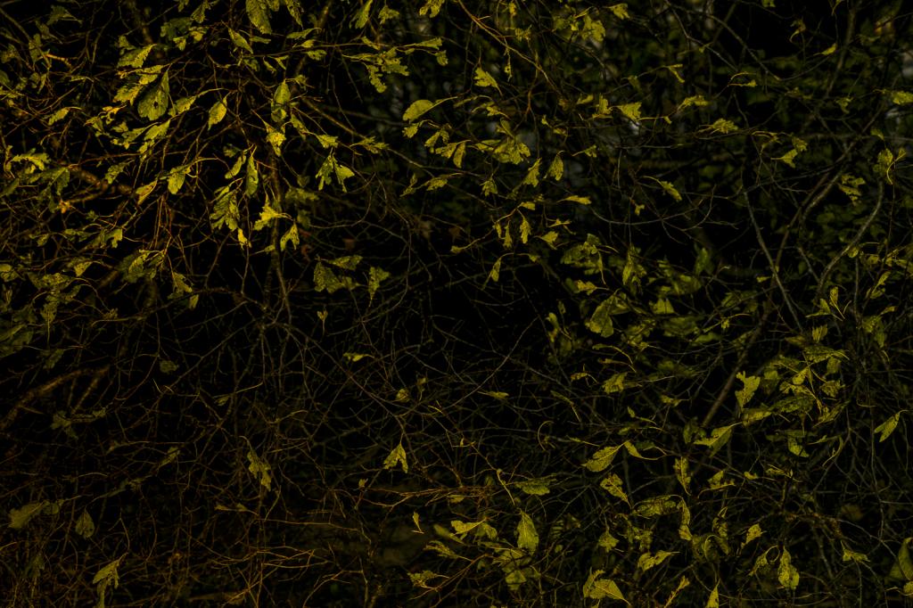 Leaves On A Shrub