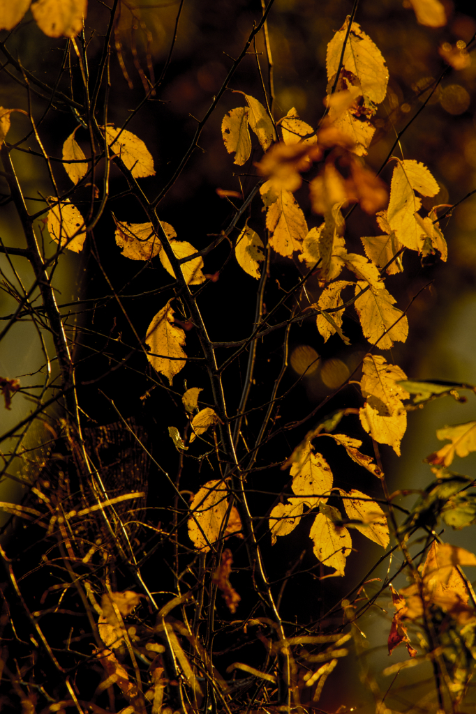 Golden Leaves Of Fall - ID: 15786209 © Philip B. Ludwig
