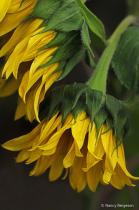 Sunflower Farewell