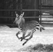 Baby Zebra gallop...