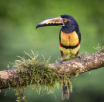 Aracari toucan