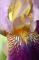 Iris 'Alcazar' close-up (soft light)