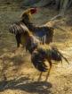 Chicken Fight Fun...