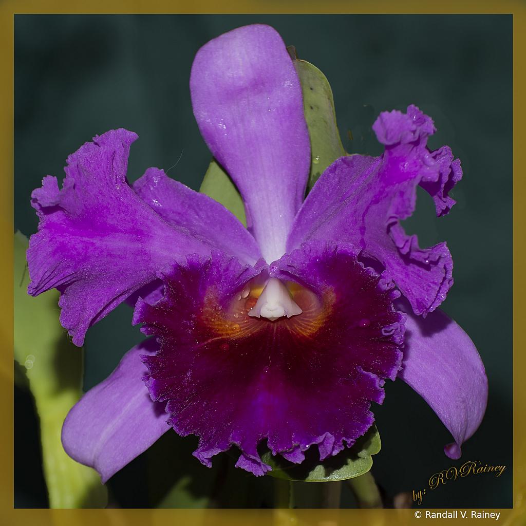 My blooming Purple Orchid