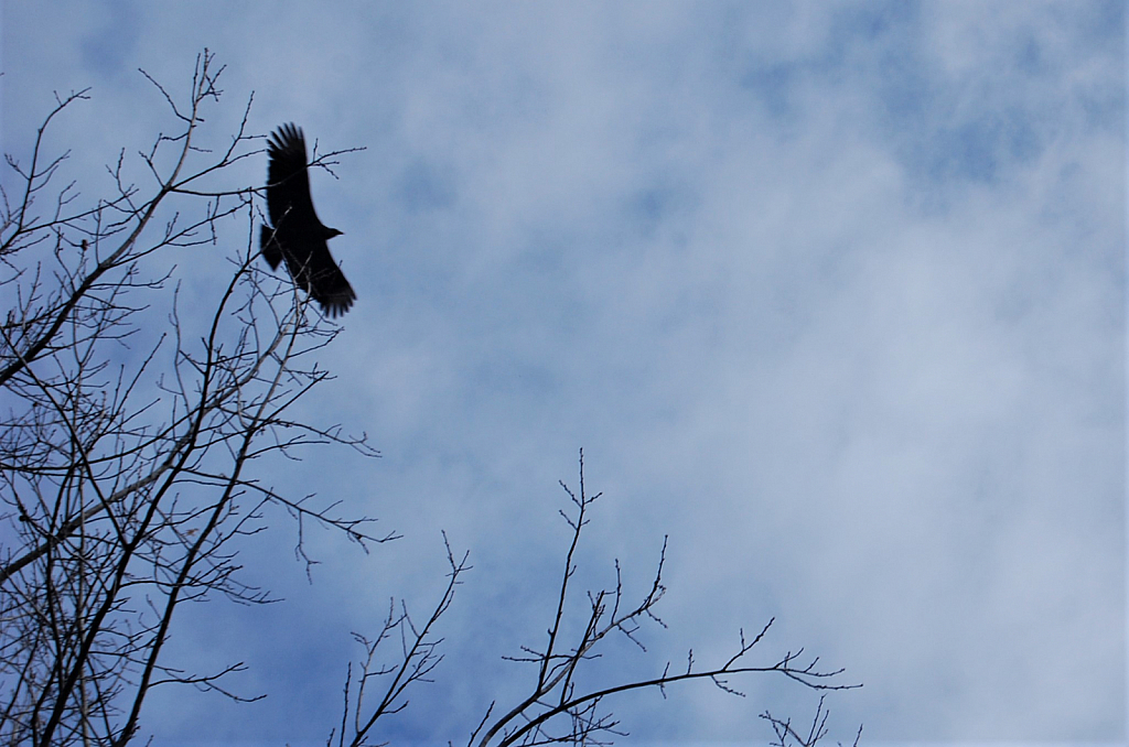 Vulture in Search of Carrion
