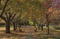 Everhart Cherries - Fall