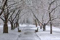 Everhart Cherries - Winter