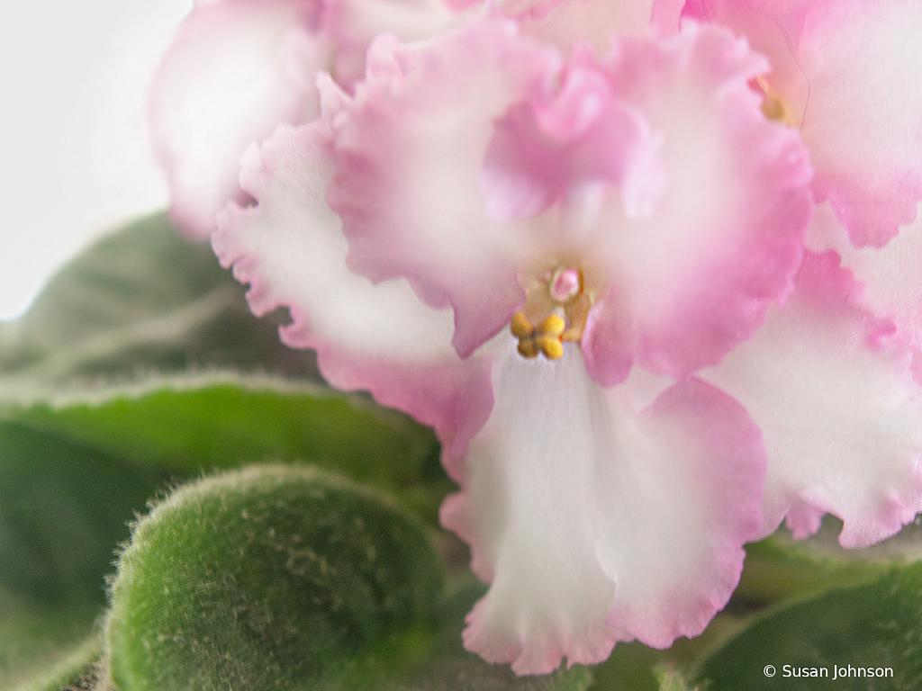 Pink & White - ID: 15787369 © Susan Johnson