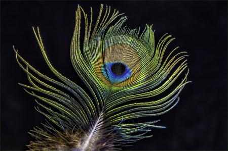 Fancy Feather  6609