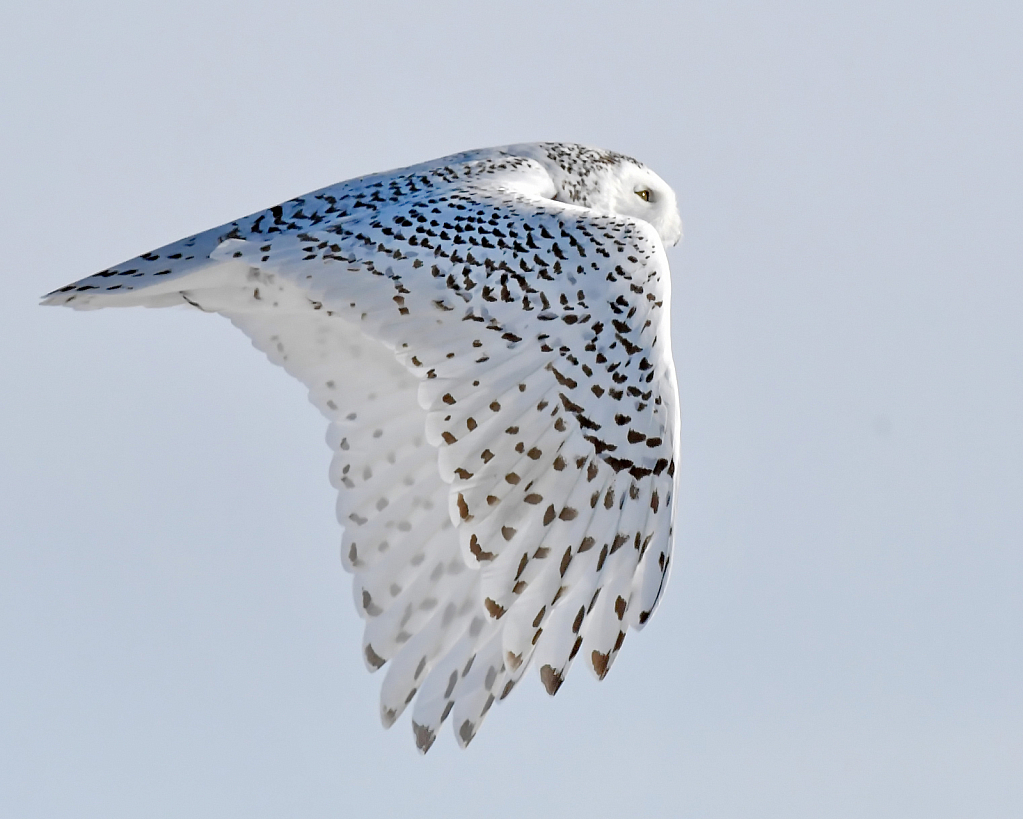 The Snowy Owl Fly-by