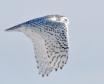 The Snowy Owl Fly...