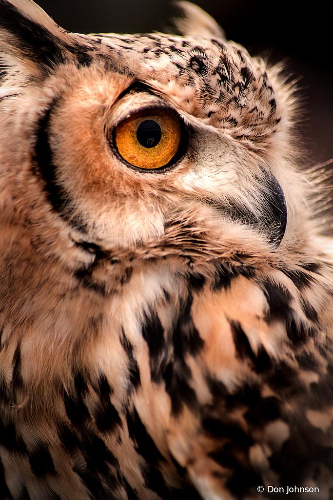 Owl Close Up 11-10-19 127 - ID: 15787611 © Don Johnson