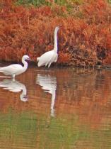 Egret birds.
