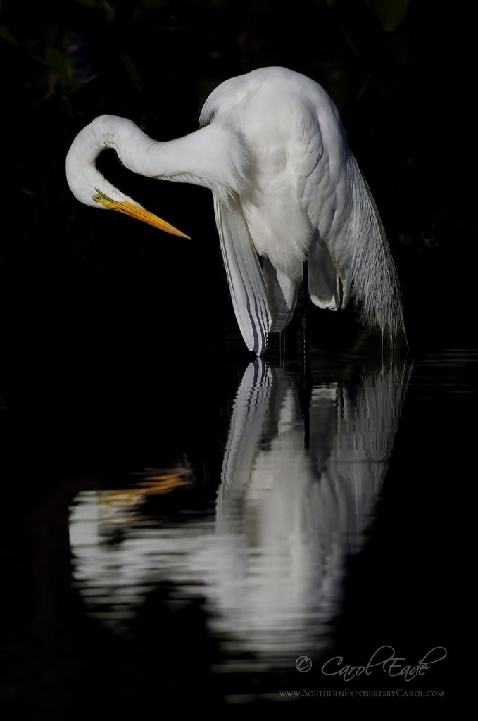Great Egret Reflecting - ID: 15787724 © Carol Eade