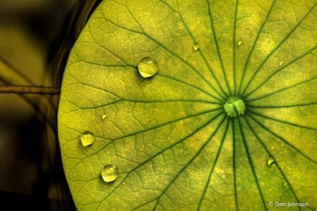 Lily Pad Water Drops 10-12-19 504