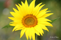 Mini Sunflower