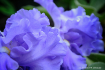 ~ ~ PURPLE RUFFLES ~ ~