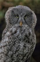 Baby Great Gray Owl