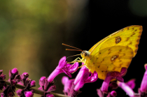 Clouded Sulphur Butterfly - (Colias philodice)