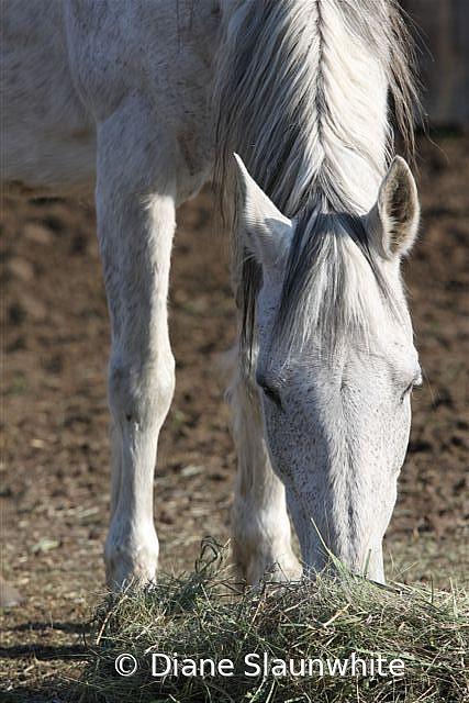Horse  - ID: 15789605 © Diane Slaunwhite
