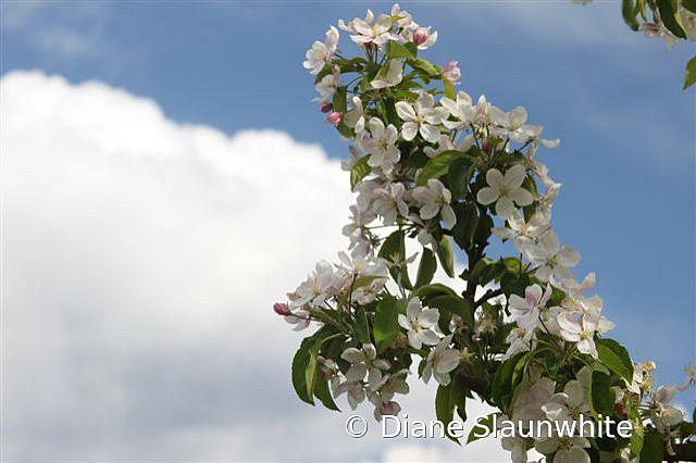 Apple Blossoms - ID: 15789608 © Diane Slaunwhite
