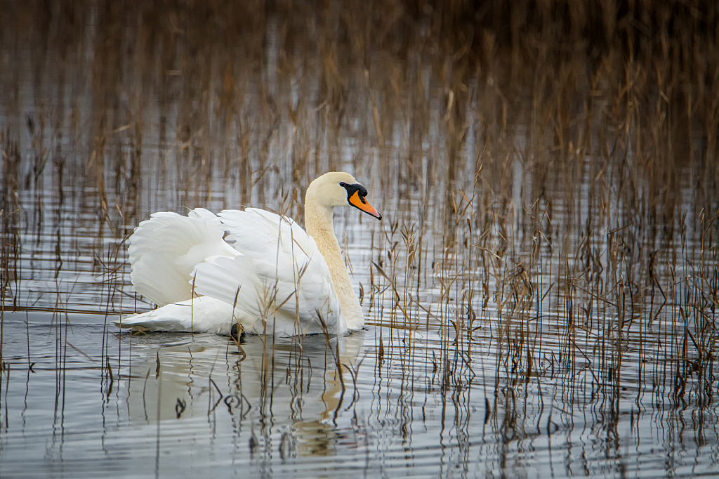 One Swan A Swimmin
