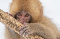 First Glimpse of the Baby Snow Monkey