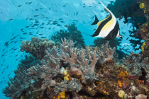 Moorish Idol Seascape